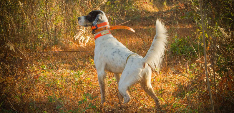 Quail Hunting At Its Best: Shenandoah Plantation