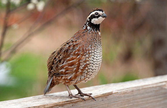 Alabama Quail Hunting Book Your Alabama Quail Hunting Trip Today