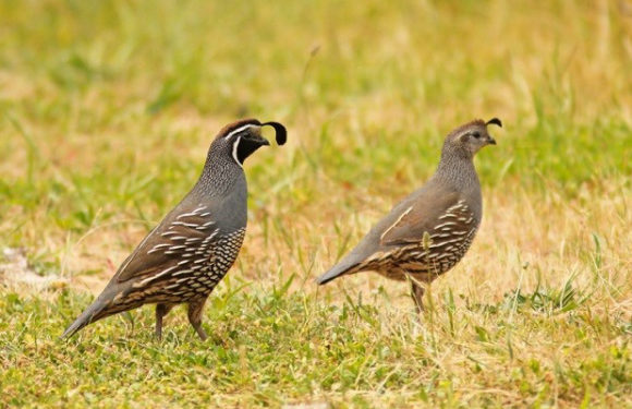Tips For Successful Quail Hunting