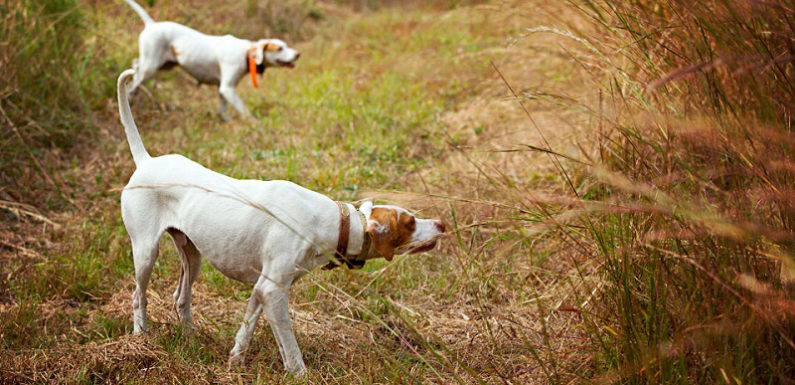 South Alabama Quail Hunting – Intercoastal Safaris